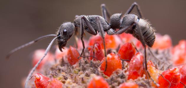 صوت النملة