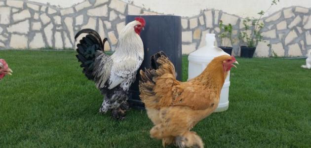 دجاج البراهما ط·ط±ظٹ%D