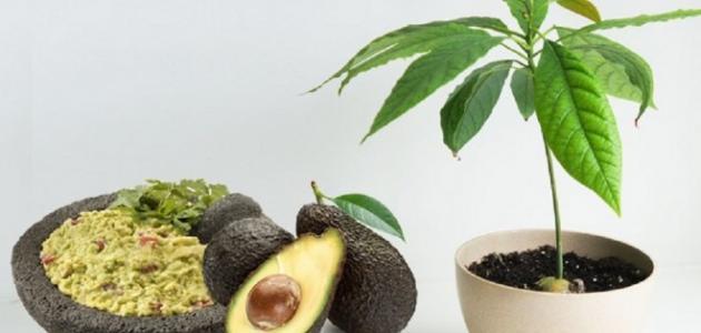 طريقة زراعة الأفوكادو