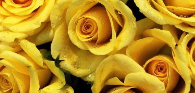 دلائل الورد الأصفر