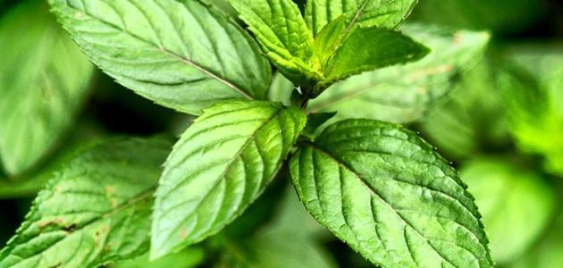 فوائد النعناع الأخضر