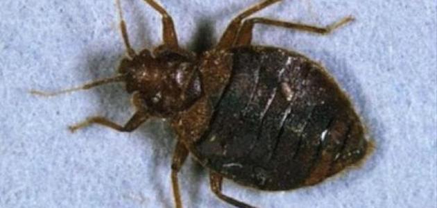 التخلص من حشرة البق