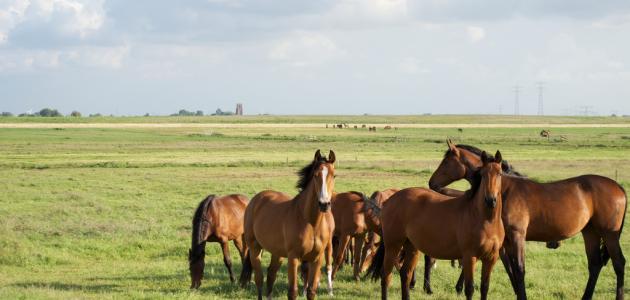 كيفية تربية الخيول في تونس