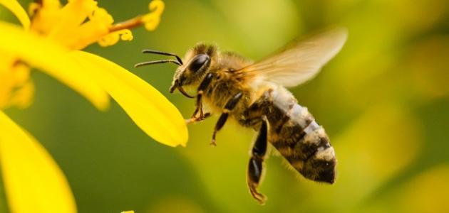 كم عدد أجنحة النحلة