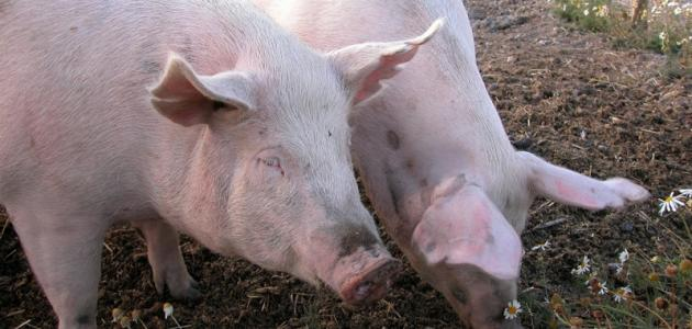 لماذا خلق الله الخنزير ولماذا حرم أكله