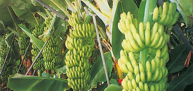 طريقة زراعة الموز