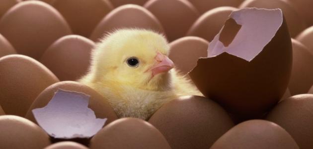 كيف يفقس بيض الدجاج