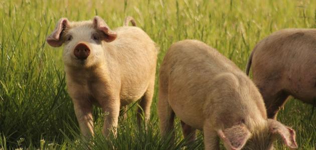 ما سبب تحريم لحم الخنزير