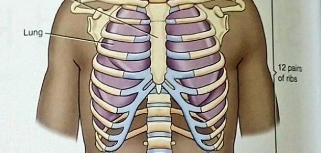 عدد عظام القفص الصدري