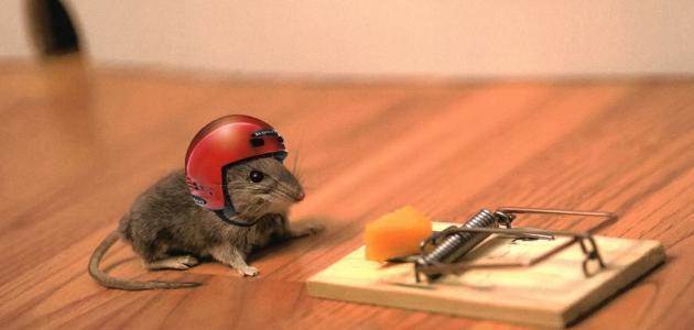 طريقة صيد الفئران