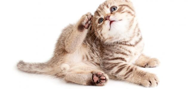 الفطريات عند القطط