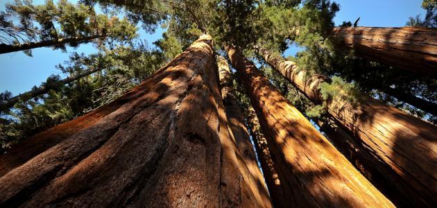 أطول شجرة في العالم
