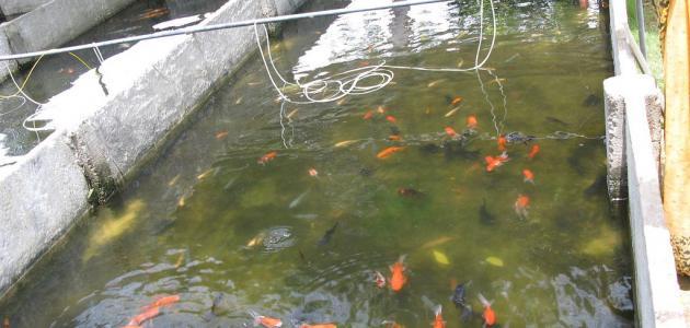 تفريخ أسماك الزينة