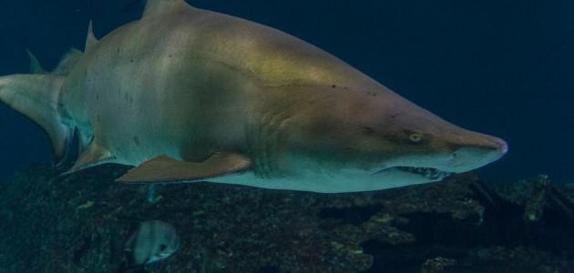 أكبر سمكة قرش