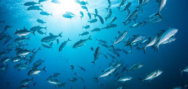 سمك السلطان ابراهيم