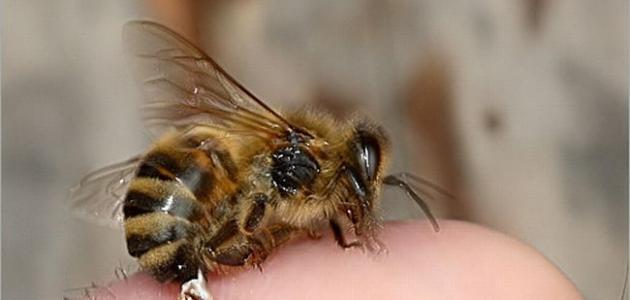 فوائد لدغ النحل