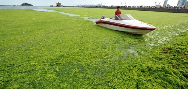 فوائد الطحالب الخضراء