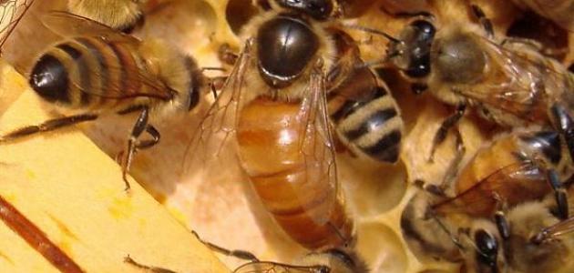 ما هي أنواع النحل وما دور كل منها