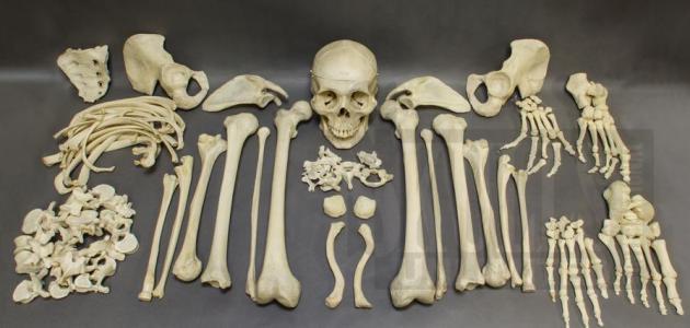 كم عدد عظام الإنسان البالغ