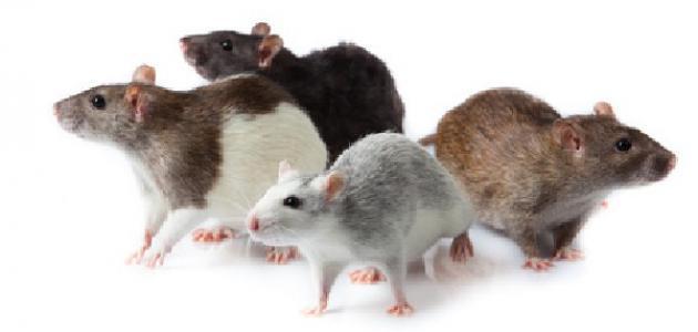 طريقة لطرد الفئران من المنزل