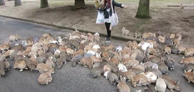 جزيرة الأرانب في اليابان