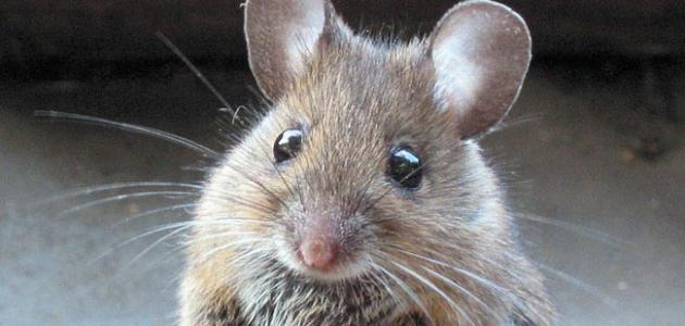 طريقة للتخلص من الفئران