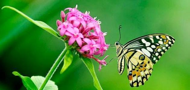 عدد أرجل الفراشة
