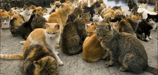 جزيرة القطط في اليابان
