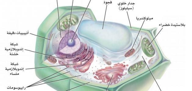 أجزاء الخلية النباتية والحيوانية