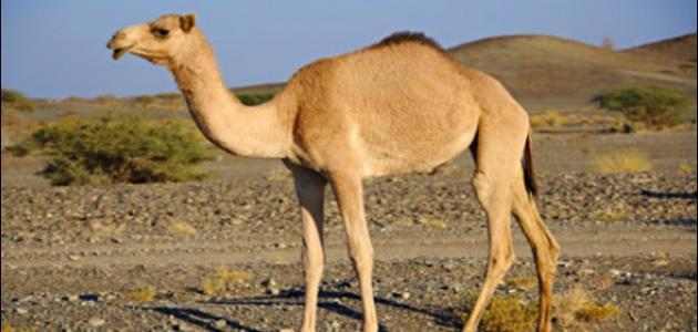 Image result for الإبل والجمال