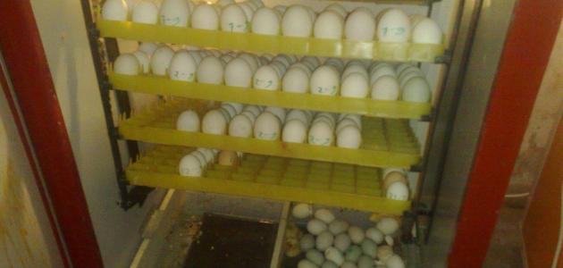 كيفية صنع فقاسة بيض