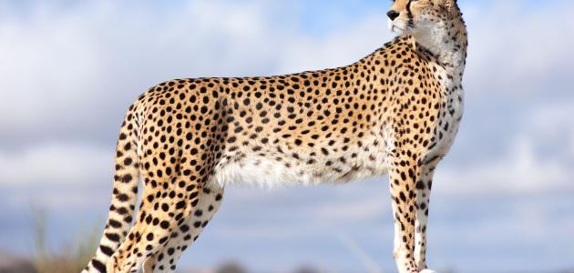 معلومات عن الفهد
