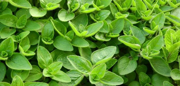 Benefits of the herb marjoram for slimming