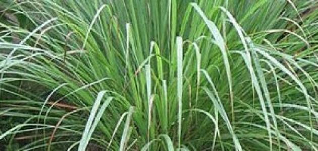 فوائد عشبة حلفا بر
