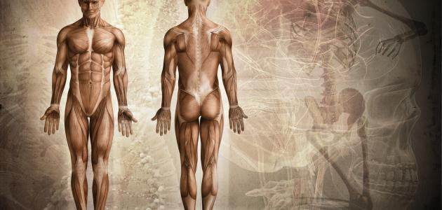ما عدد عضلات جسم الإنسان