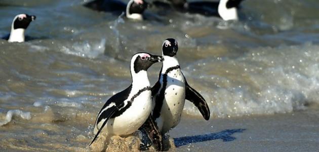 هل توجد طيور البطريق في أفريقيا