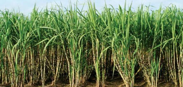 كيفية زراعة قصب السكر