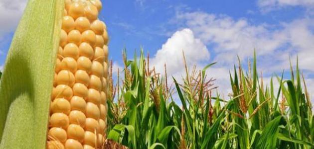 طريقة زراعة الذرة الصفراء