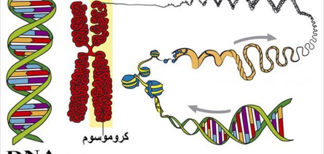 مفهوم البرنامج الوراثي
