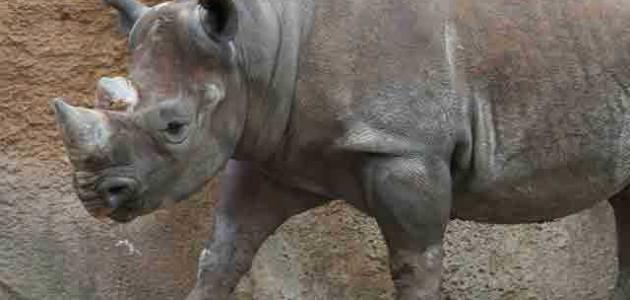 لماذا سمي وحيد القرن بهذا الاسم