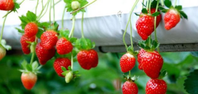 كيفية زراعة فاكهة الفراولة