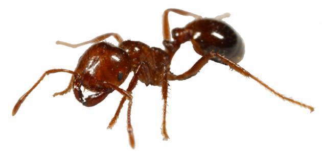 على ماذا يدل وجود النمل في البيت موضوع