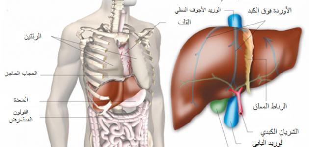 ما هي فوائد الكبد في جسم الإنسان