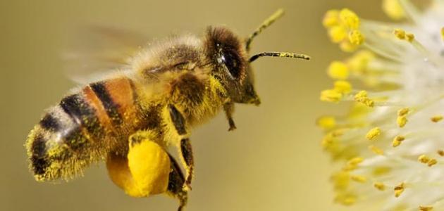 ما فائدة حبوب لقاح النحل