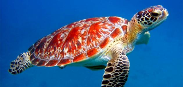 لماذا تهاجر السلاحف البحرية