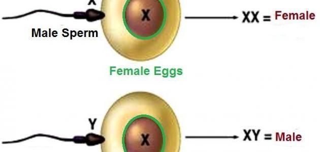 كيف يتم تحديد نوع الجنين