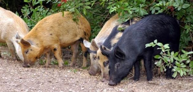 اسم صغير الخنزير