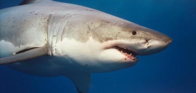 موضوع عن سمك القرش