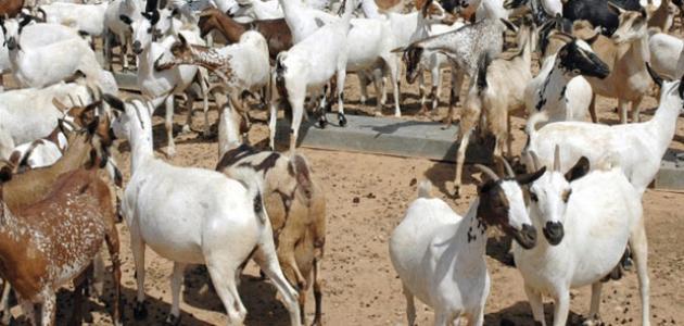 طريقة تربية الماعز