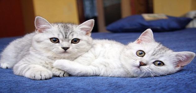 موضوع عن القطط